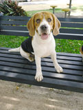 Beagle on bench Royalty Free Stock Photo