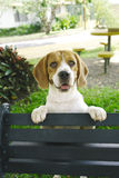 Beagle bench Stock Images