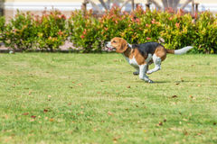 Beagle bieg Obrazy Royalty Free