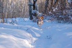 Beagle bieg wokoło i bawić się z zima lasem zdjęcia stock
