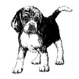 Beagle. Black and white beagle , hand draw vector Royalty Free Stock Photos