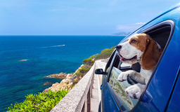 Beagle in a blue car. The cute beagle travels in the blue car royalty free stock images
