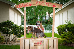 Beagle and Boxer dogs in a kissing booth Stock Images