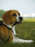 Beagle With Branchlet In Mouth Royalty Free Stock Photos