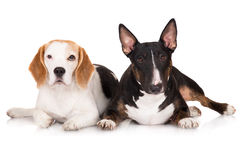 Beagle and bull terrier dogs together Stock Photo
