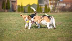 beagle być prześladowanym dwa Fotografia Stock