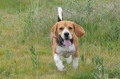 Beagle chłopiec Obrazy Stock