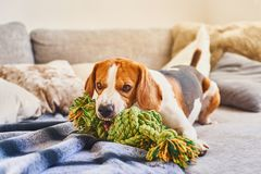 Beagle chewing a rope toy on sofa. Dog beagle with a green knot rope in house in living room on a couch. Chewing a toy on sofa stock images
