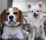 Beagle and chihuahua Royalty Free Stock Image