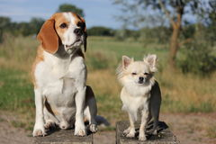 Beagle and chihuahua in field Royalty Free Stock Photography