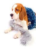 Beagle and Christmas ornaments Royalty Free Stock Images