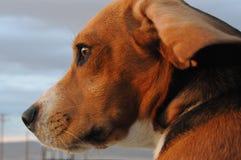 Beagle closeup. Closeup of Beagle face sideways with one ear flopped back stock photo