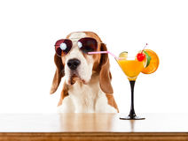 Beagle and cocktail, isolated on white Stock Image