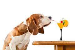 Beagle and cocktail, isolated on white stock photo