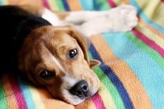 Beagle. Colourful background. royalty free stock photo