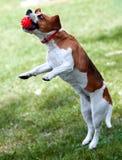 beagle con la bola Imagen de archivo libre de regalías