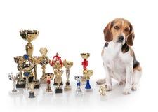 Beagle con los trofeos del campeón Foto de archivo libre de regalías
