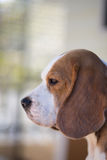 beagle con su oído grande Imagenes de archivo