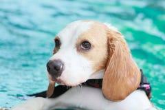 Beagle con sus ojos grandes Imagenes de archivo