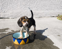 Beagle Cooling Off Stock Images