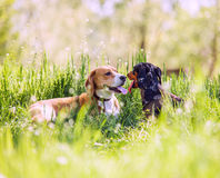 Beagle and dachshund  lying in grass Royalty Free Stock Images