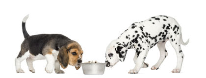 Beagle and Dalmatian puppies sniffing a bowl full. Of croquettes, isolated on white royalty free stock photo