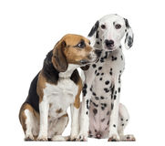 Beagle and Dalmatian sitting, isolated Royalty Free Stock Photography