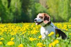 Beagle and dandelions. My Beagle is enjoying of dandelion field warmness Royalty Free Stock Photos