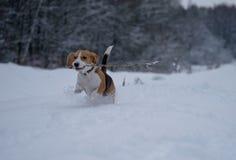 Beagle de la raza del perro que camina en bosque del invierno Imagenes de archivo