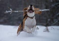 Beagle de la raza del perro que camina en bosque del invierno Foto de archivo