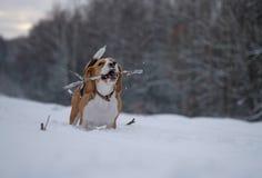 Beagle de la raza del perro que camina en bosque del invierno Foto de archivo libre de regalías