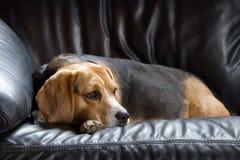 Beagle de reclinación foto de archivo