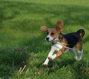 Beagle in de summer plaing with a stick in gras Stock Images