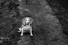 Beagle del caramelo Foto de archivo