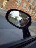 Beagle del paseo del coche Foto de archivo
