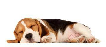 Beagle del perrito fotos de archivo