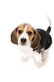 Beagle del perrito imagenes de archivo