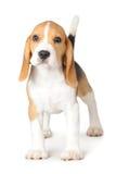 Beagle del perrito en el fondo blanco Imagen de archivo libre de regalías