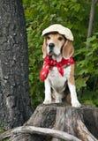 Beagle del perro imagen de archivo libre de regalías