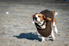 Beagle del perro en ropa del invierno Fotos de archivo