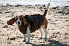 Beagle del perro en ropa del invierno Fotografía de archivo libre de regalías