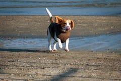 Beagle del perro en ropa del invierno Fotografía de archivo