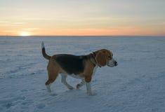 Beagle del perro en un paseo Imagen de archivo libre de regalías