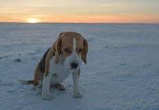 Beagle del perro en un paseo Fotos de archivo libres de regalías