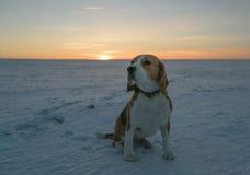 Beagle del perro en un paseo Foto de archivo libre de regalías