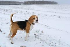Beagle del perro en un paseo Imágenes de archivo libres de regalías
