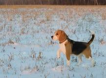 Beagle del perro en un paseo Fotografía de archivo libre de regalías