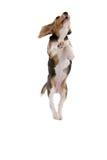 Beagle del vuelo fotos de archivo libres de regalías
