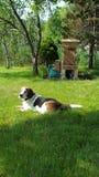 Beagle delante de la colmena de la abeja Fotografía de archivo