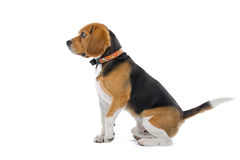 Beagle dog. Side view of cute Beagle dog isolated on white background Royalty Free Stock Images
